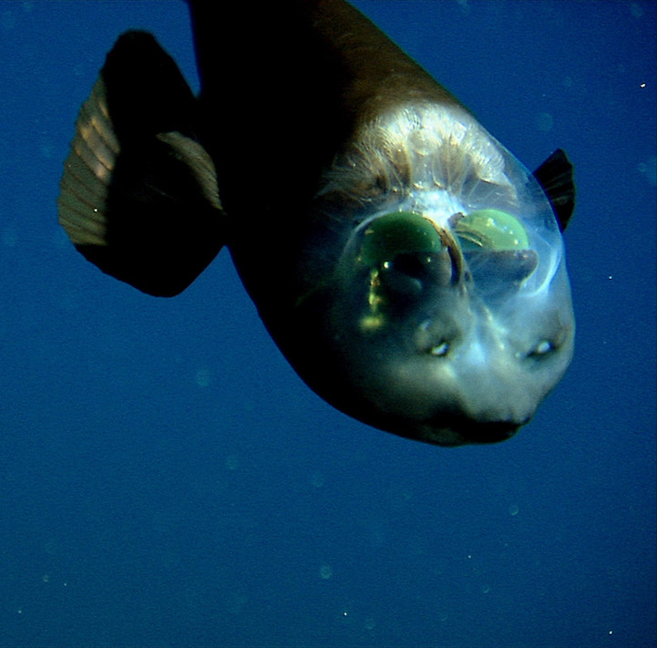 weird-bizarre-deep-ocean-fish-transparent-head (3)