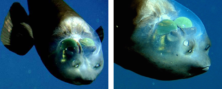 weird-bizarre-deep-ocean-fish-transparent-head (4)