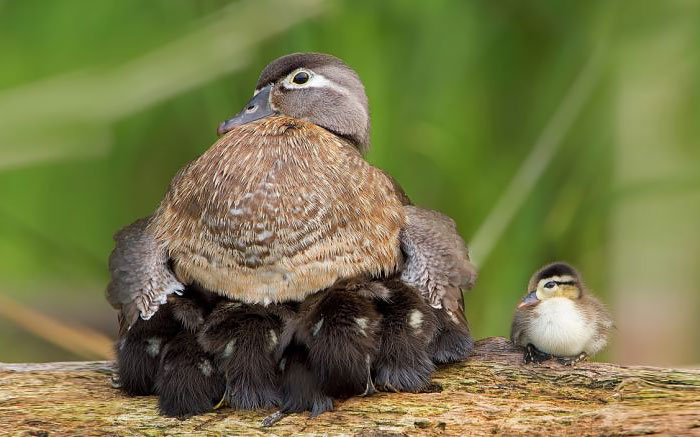 funny-cute-bird-parents-babies-photos (13)