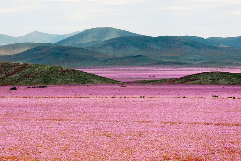 rain-atacama-flowers-bloom-worlds-driest-desert-pictures (1)