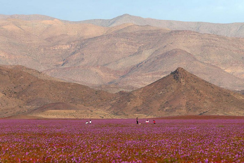 rain-atacama-flowers-bloom-worlds-driest-desert-pictures (2)