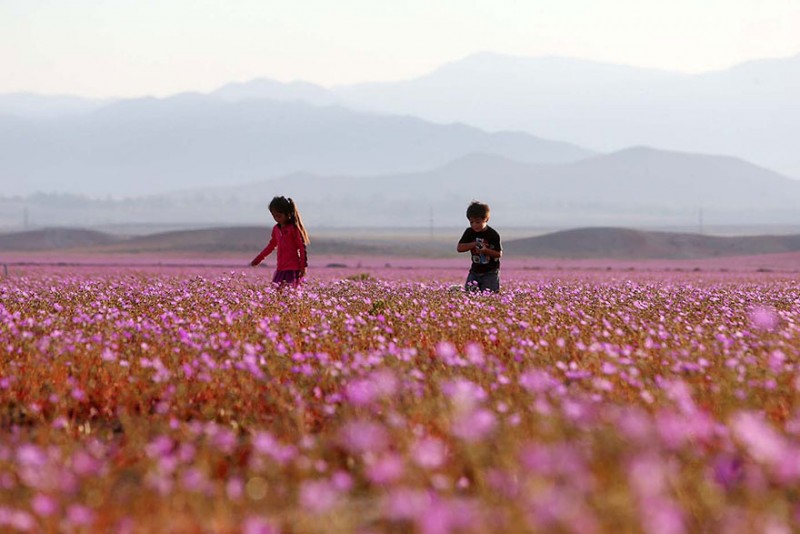 rain-atacama-flowers-bloom-worlds-driest-desert-pictures (4)
