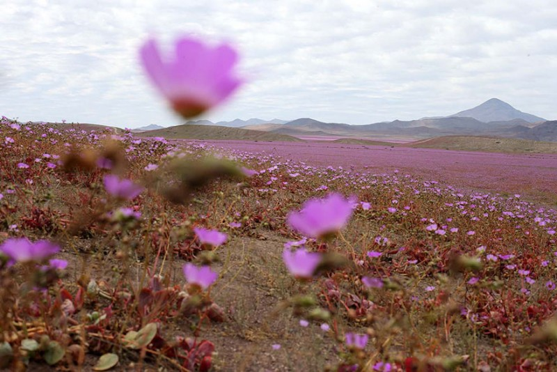 rain-atacama-flowers-bloom-worlds-driest-desert-pictures (5)