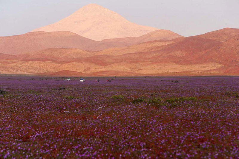 rain-atacama-flowers-bloom-worlds-driest-desert-pictures (6)