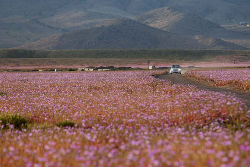 rain-atacama-flowers-bloom-worlds-driest-desert-pictures