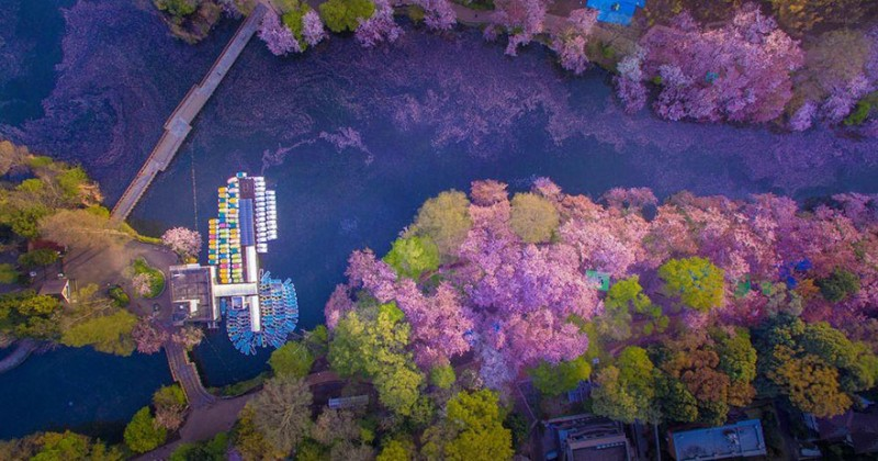 beautiful-cherry-blossom-drone-photography-japan-sakura-pictures