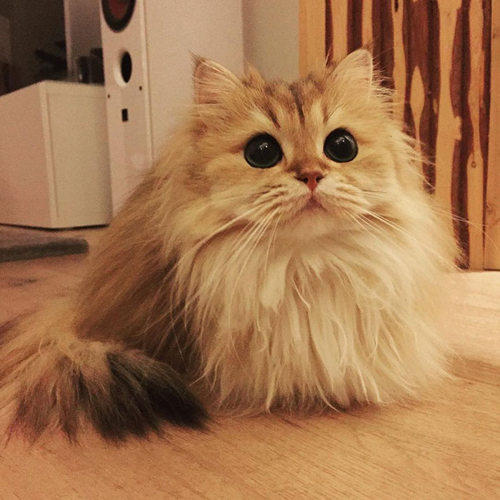 beautiful-fluffy-photogenic-cat-cute-british-longhair-pictures (2)