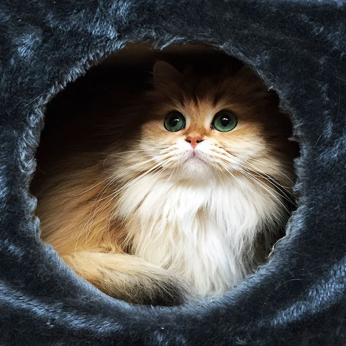 beautiful-fluffy-photogenic-cat-cute-british-longhair-pictures (3)