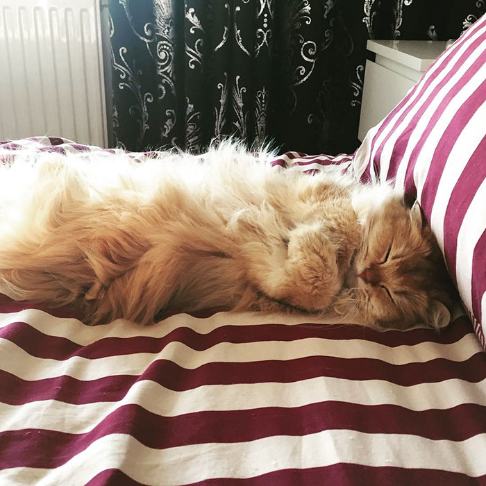 beautiful-fluffy-photogenic-cat-cute-british-longhair-pictures (5)