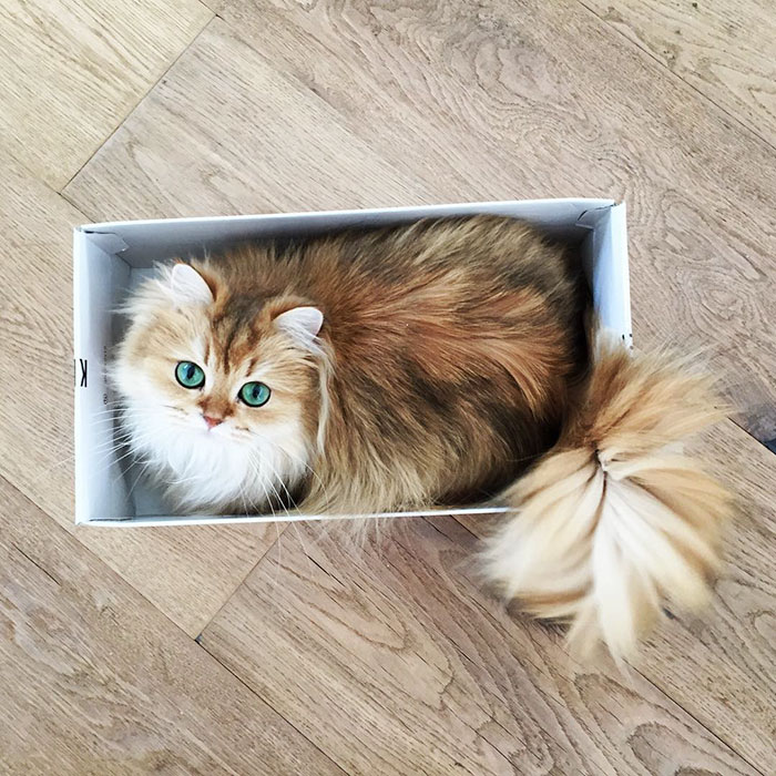 beautiful-fluffy-photogenic-cat-cute-british-longhair-pictures (6)