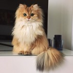 This beautiful British Longhair is the world's most photogenic cat