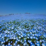 4.5 million blooming baby blue eyes show us the beauty of Japan's spring