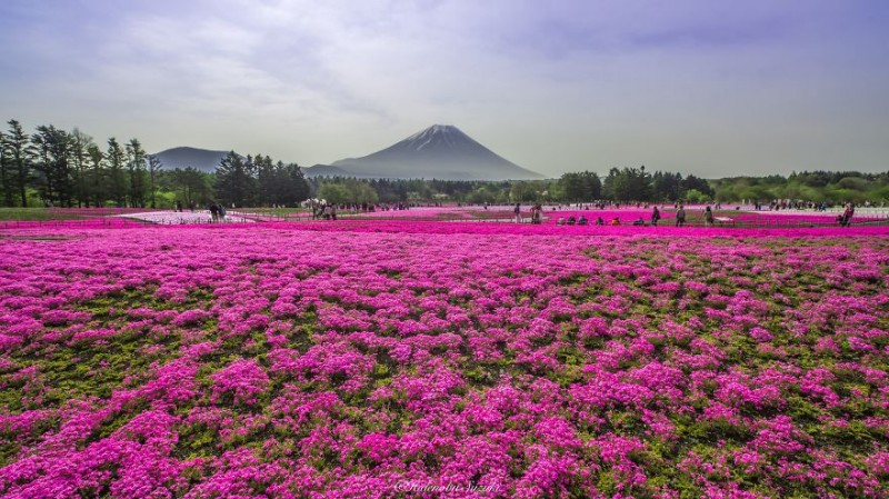 beautiful-spring-japan-flower-landscape-photos (5)