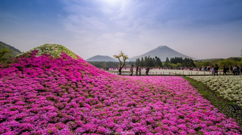 beautiful-spring-japan-flower-landscape-photos (6)