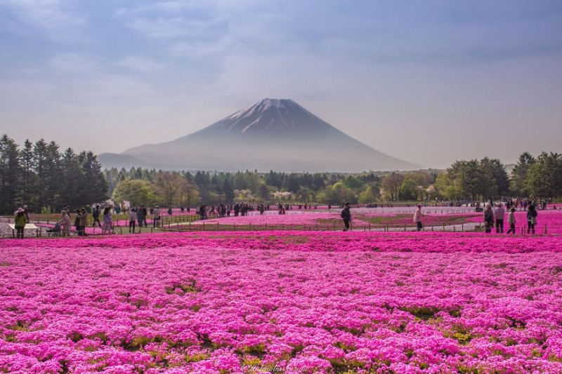 beautiful-spring-japan-flower-landscape-photos (7)