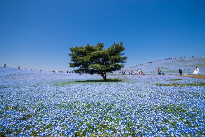 beautiful-spring-japan-flower-landscape-photos (8)