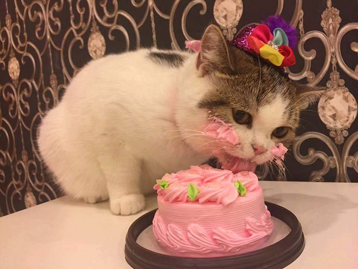 funny-photos-adorable-cat-eats-cake (2)