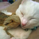 A bearded dragon and a cat are best friends for life