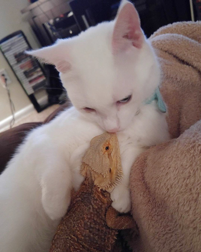 funny-pictures-bearded-dragon-cat-friendship (2)