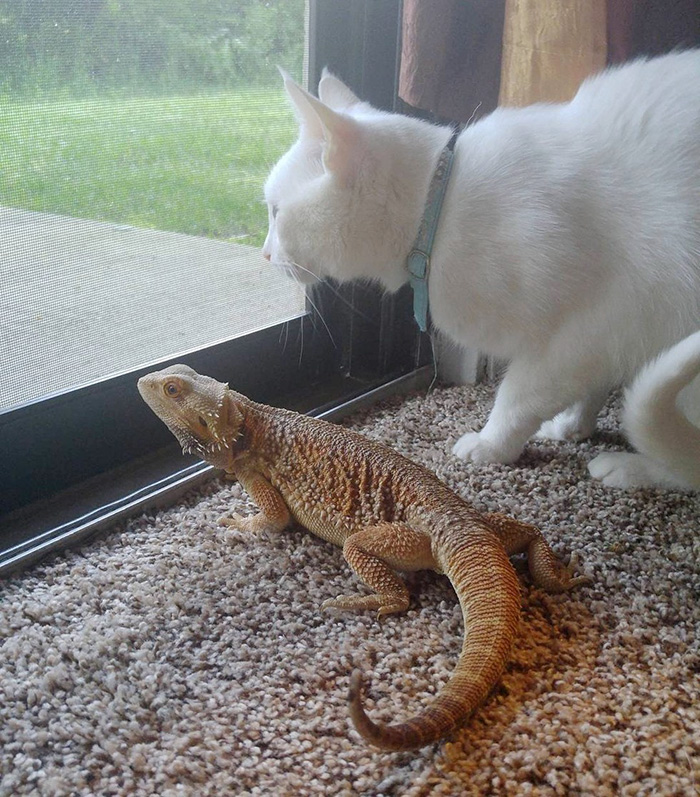 funny-pictures-bearded-dragon-cat-friendship (4)