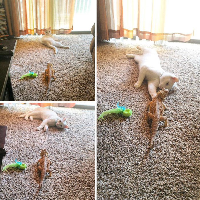 funny-pictures-bearded-dragon-cat-friendship (6)