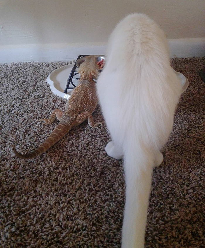 funny-pictures-bearded-dragon-cat-friendship (7)