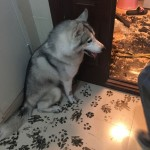 Husky turned the whole apartment into his canvas in 3 hours
