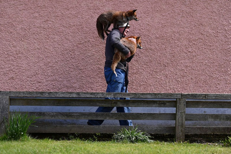 pet-foxes-rescue-relationship-between-human-animals (3)