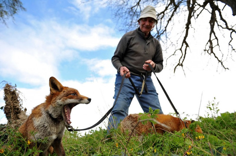 pet-foxes-rescue-relationship-between-human-animals (4)