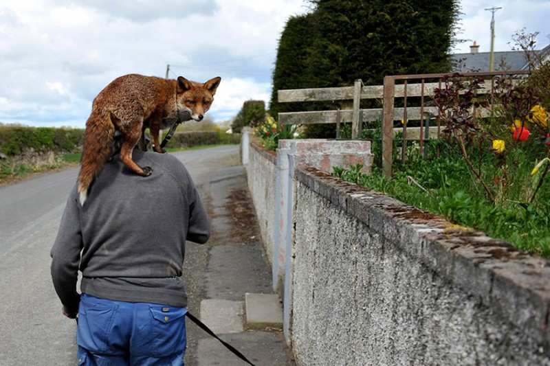 pet-foxes-rescue-relationship-between-human-animals (5)