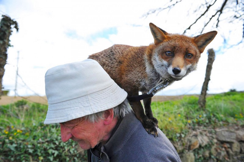 pet-foxes-rescue-relationship-between-human-animals (9)
