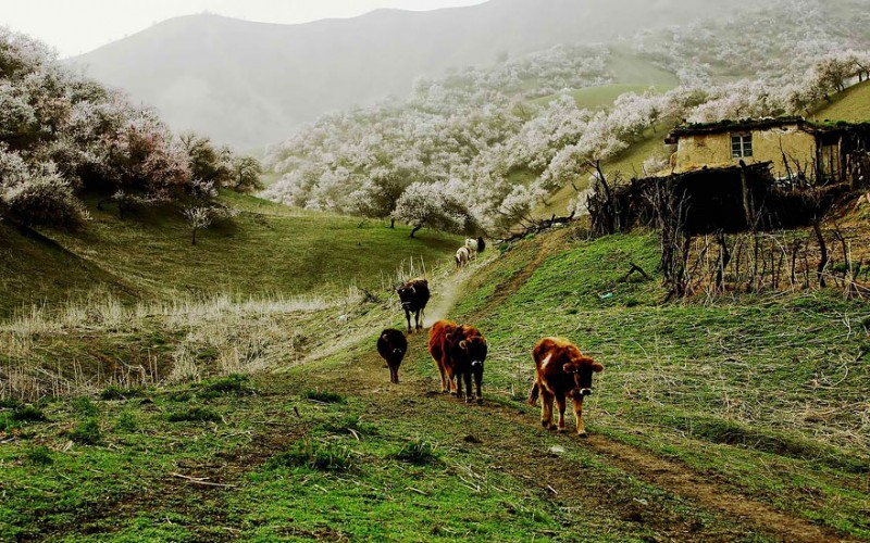 stunning-beautiful-blooming-apricot-valley-china-attractions (1)