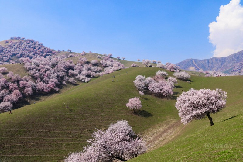 stunning-beautiful-blooming-apricot-valley-china-attractions (16)