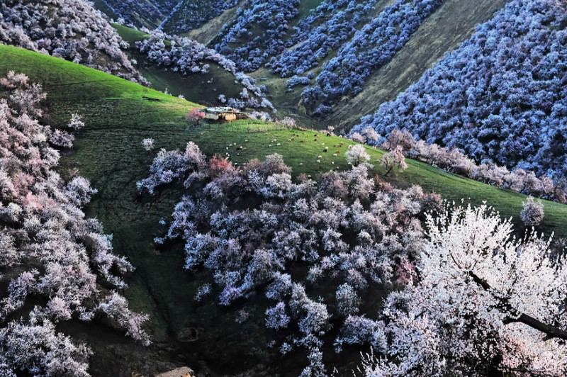 stunning-beautiful-blooming-apricot-valley-china-attractions (2)