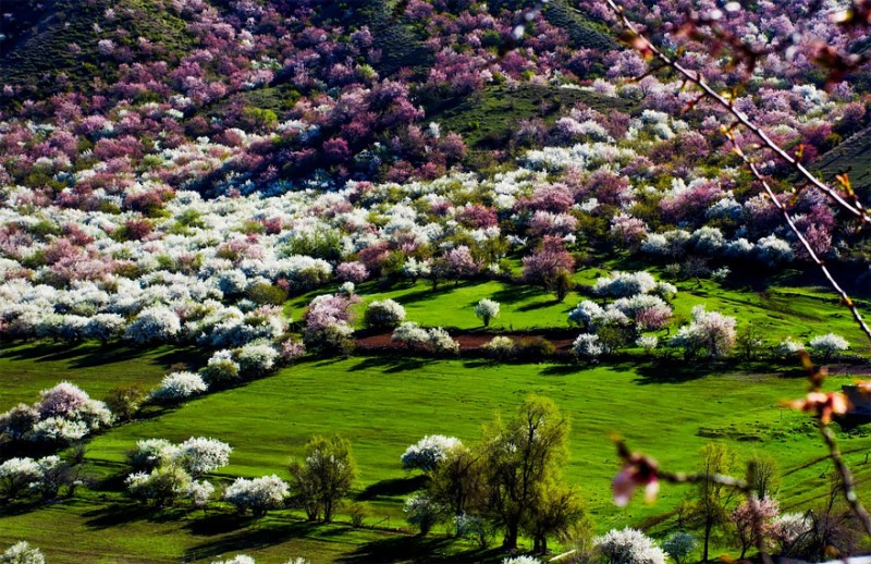 stunning-beautiful-blooming-apricot-valley-china-attractions (3)