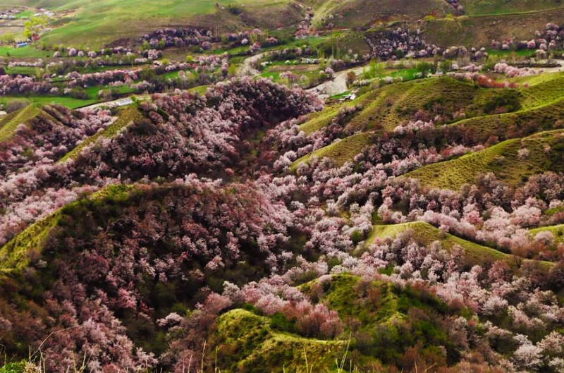 stunning-beautiful-blooming-apricot-valley-china-attractions (6)