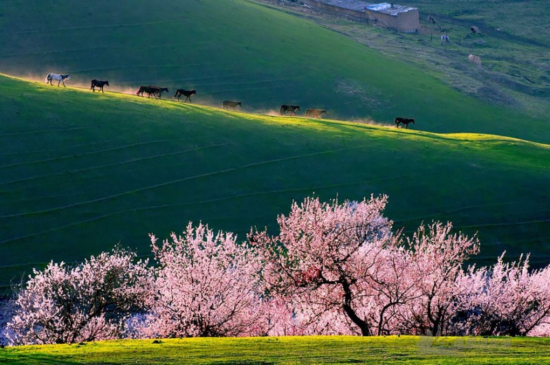 stunning-beautiful-blooming-apricot-valley-china-attractions (7)
