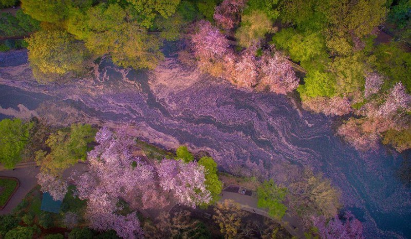stunning-beautiful-sakura-cherry-blossom-drone-photography-japan-spring-pictures (1)