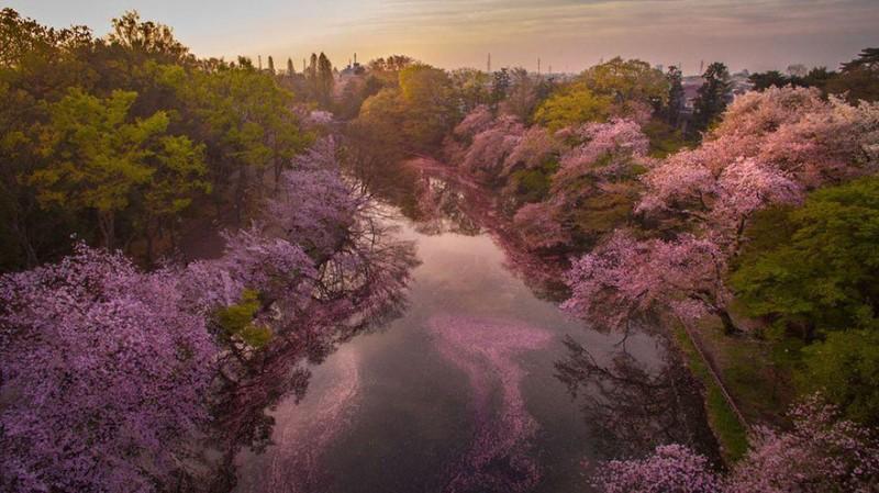 Stunning Beautiful Sakura Cherry Blossom Drone Photography Japan