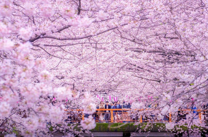 stunning-beautiful-sakura-cherry-blossom-drone-photography-japan-spring-pictures (4)
