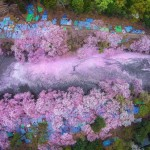 Cherry blossoms in aerial shot