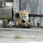 Adorable pictures of baby foxes
