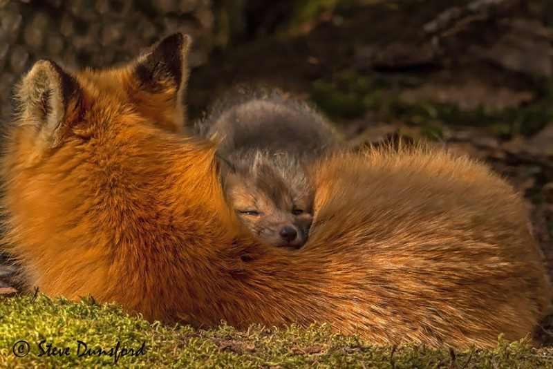 cute-baby-foxes-pictures (10)