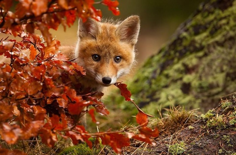 cute-baby-foxes-pictures (12)