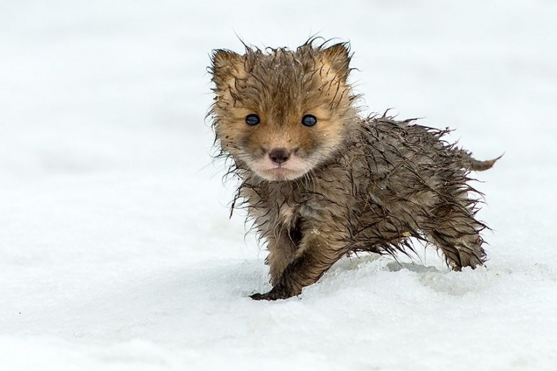cute-baby-foxes-pictures (4)