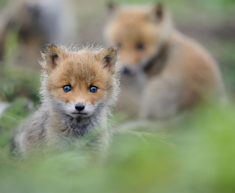 cute-baby-foxes-pictures (5)