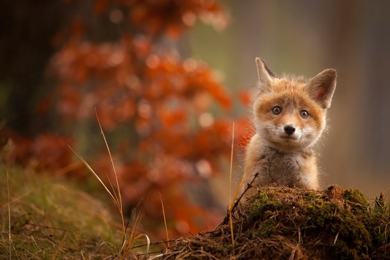 cute-baby-foxes-pictures (7)