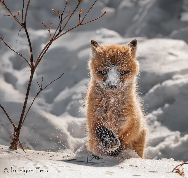 cute-baby-foxes-pictures (9)
