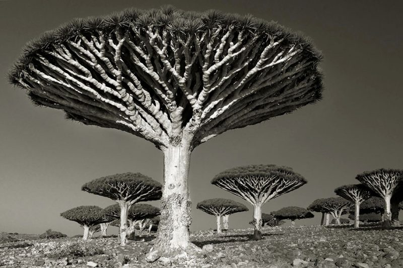 ancient-worlds-oldest-trees-photographs-beautiful-nature-photography (1)
