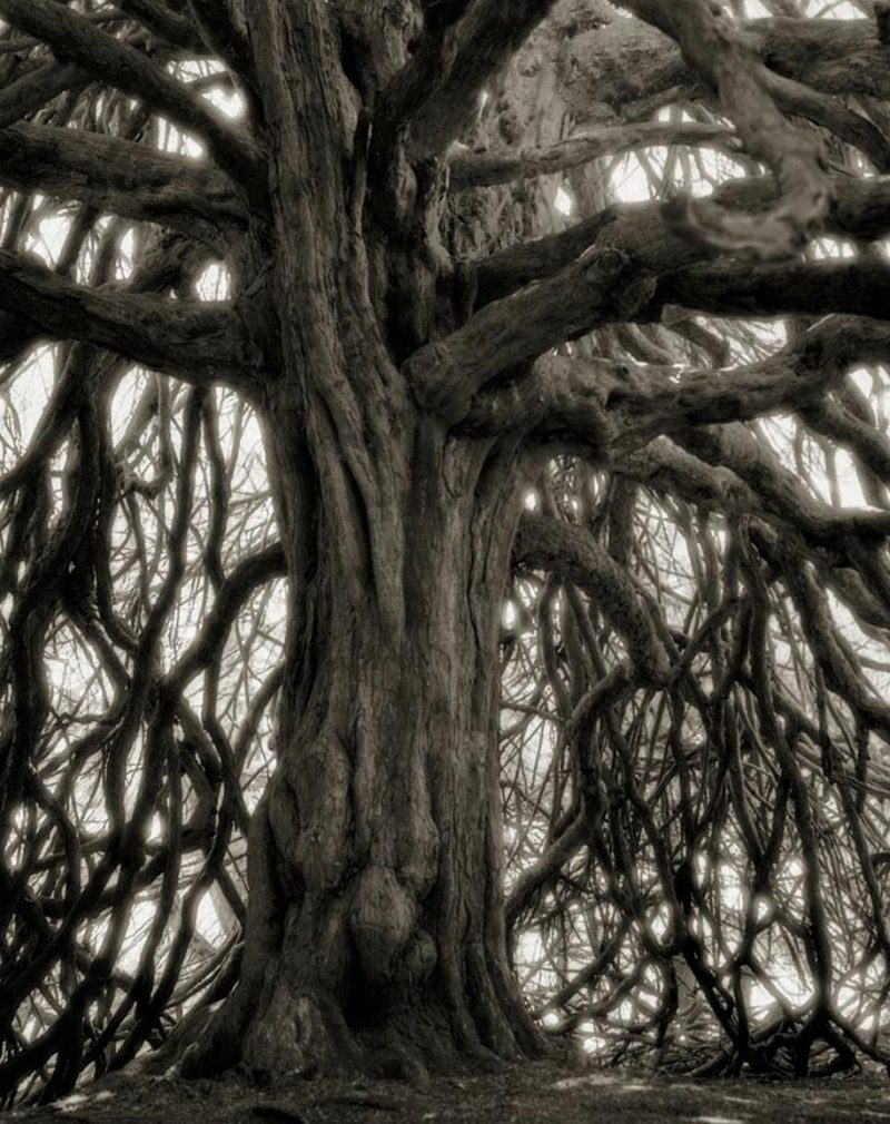 ancient-worlds-oldest-trees-photographs-beautiful-nature-photography (12)